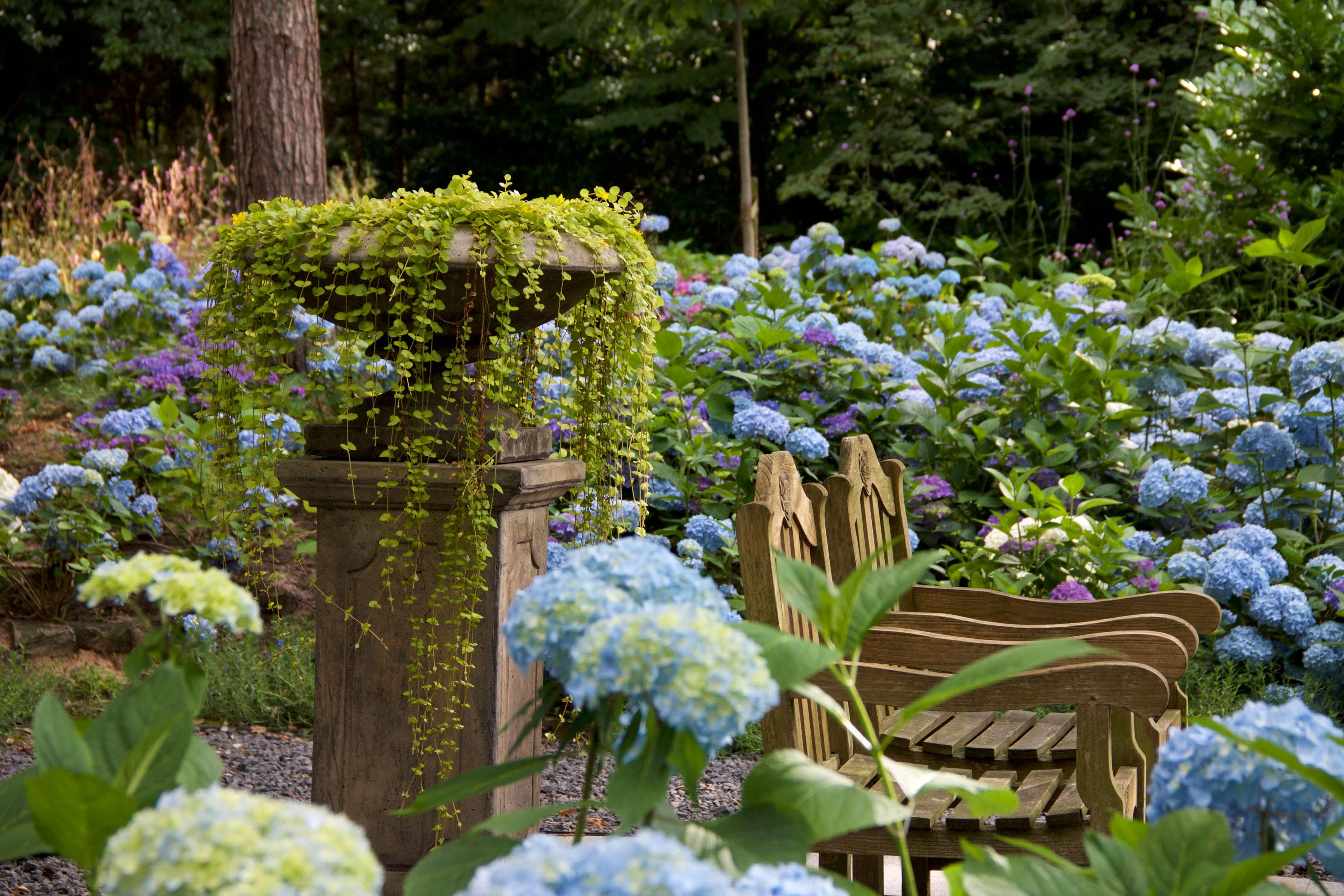 Genieten tussen de blauwe Hortensia's