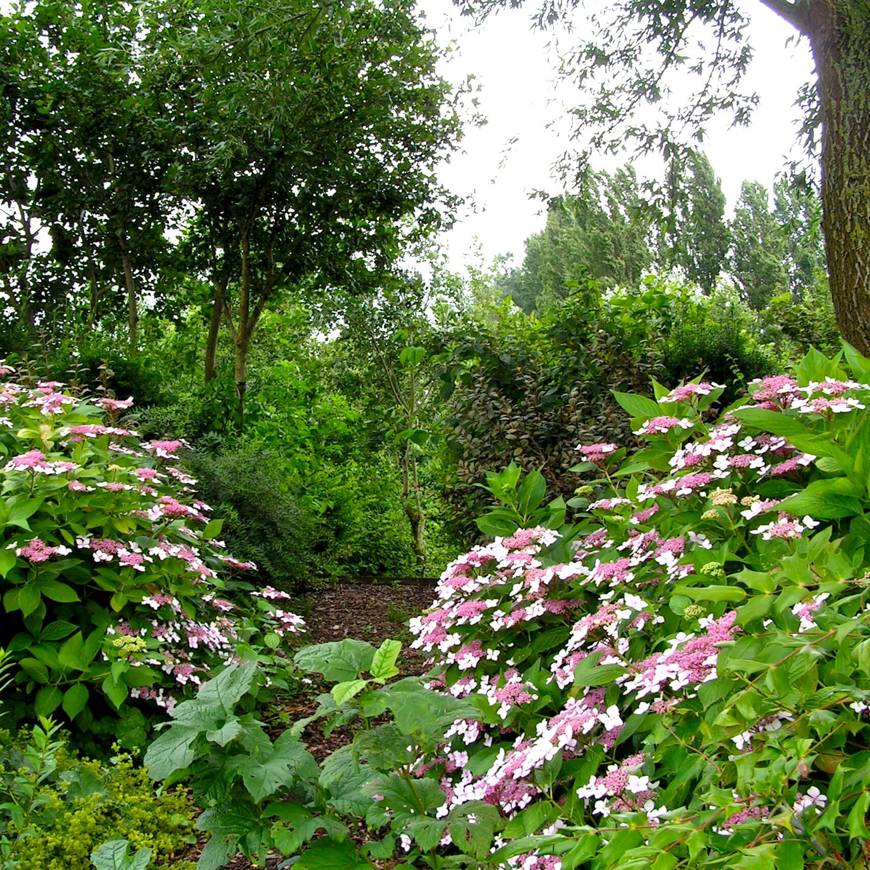 Hortensia's in een natuurlijke tuin
